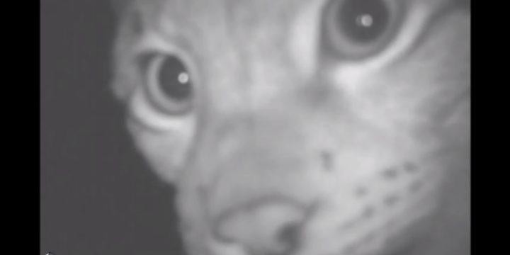 Kuidas sündisid haruldased kaadrid ilvestest ehk lood rajakaamera loomadest