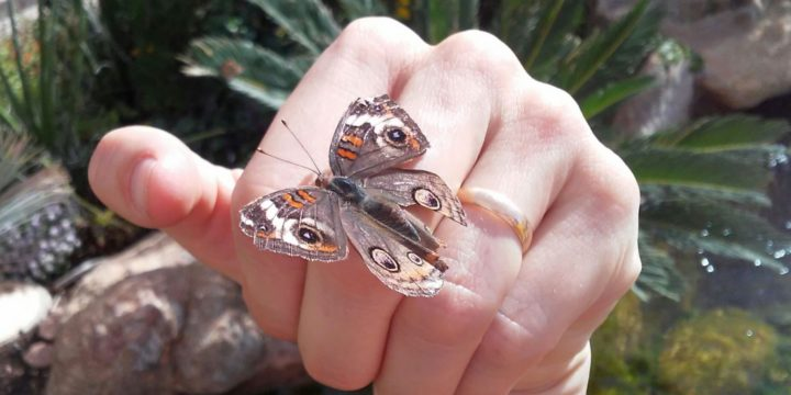 Pildipostitus: Arizona liblikad