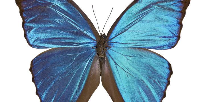 Kuulsaid sinisetiivalisi Morpho liblikaid köidab sinine värv