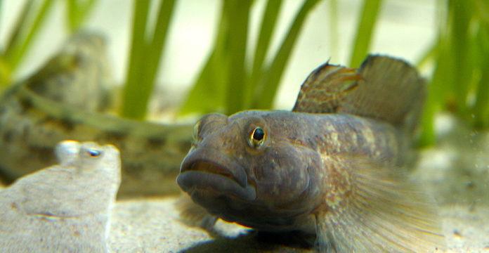 Kas ümarmudil ja mudakrabi söövad mere tühjaks?