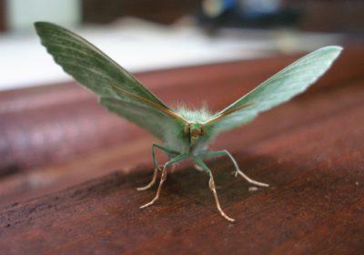 Troopiline uuring: emase liblika käitumine reedab röövikute toitumisharjumused